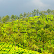 Tea estate after a fresh spill of rain in munnar kerala — Stock Photo