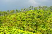 Tea estate after a fresh spill of rain in munnar kerala — Stockfoto