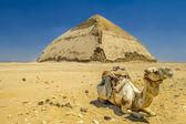 Camel near Pyramid — Stock Photo