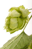 Hop cone and leaves on white background — Stock Photo