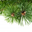 Pine branch isolated on white background — Stock Photo #33046977