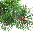 Stock Photo: Pine branch isolated on white background