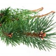 Pine branch isolated on white background — Stock Photo