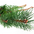 Pine branch isolated on white background — Stock Photo #33047009