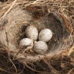 Detail of bird eggs in nest — Stock Photo #34796223