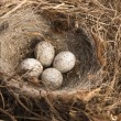 Stock Photo: Detail of bird eggs in nest