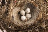 Detail of bird eggs in nest — Stock Photo