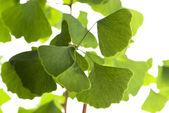 Ginkgo biloba leaf isolated on white — Stock Photo