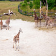 Giraffes in Prague Zoo — Stock Photo