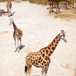Royalty-Free Stock Photo: Giraffes in Zoo