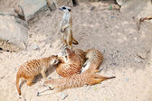 Meerkats in a Prague Zoo — Stock Photo
