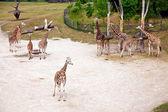 Girafas no zoológico de praga — Fotografia Stock