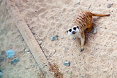 Meerkat in a Prague Zoo — Stock Photo