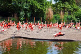 Running Pink Flamingos — ストック写真