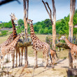 Royalty-Free Stock Photo: Feeding Time For Giraffes