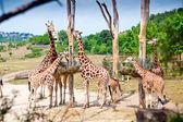 Feeding Time For Giraffes — Stock Photo