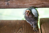 Tufted-ear marmoset — Stock Photo