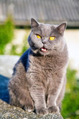 British cat meow — Stock Photo