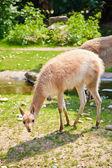 Vicugna at the Vienna zoo — Stock Photo