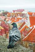 Pigeon over the Tallinn — Stock Photo