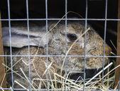 Great pedigree rabbit — Stock Photo