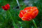 Beautiful spring tulip flowers — Stock Photo