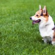 Dog on green grass — Stock Photo #47270581