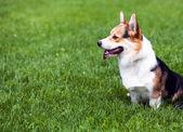 Dog on green grass — Stock Photo