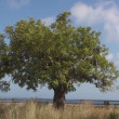 One Carob tree — Stock Video