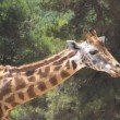 South African Giraffe — Stock Video