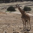 Stock Video: Giraffe