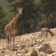 Giraffe and Donkey — Stock Video