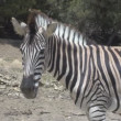 Walking Zebra — Stock Video