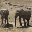 Pair of Elephants - Stock Photo
