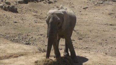 Indian Elephant — Stock Video