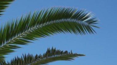Rama de árbol de palma — Vídeo de stock