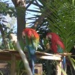 Scarlet Macaws on a tree branch — Stock Video