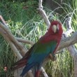 Scarlet Macaw on a tree branch - Stok fotoğraf