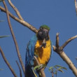 Gold And Blue Macaw - Foto de Stock