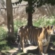 Tiger in a zoo — Stok video