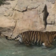 Tiger walking on water - Stock Photo