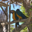 Stock Video: Gold and Blue Macaws
