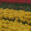 A field of yellow and red tulips — Stock Video
