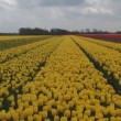 Yellow sea of tulips — Stock Video