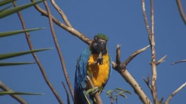 Gold And Blue Macaw — Stock Video