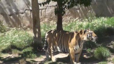 Tigre en el zoológico — Vídeo de Stock