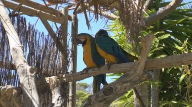 Gold and Blue Macaws — Stock Video