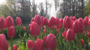 Red tulips — Stock Video