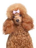 Toy poodle puppy close-up portrait — Stock Photo