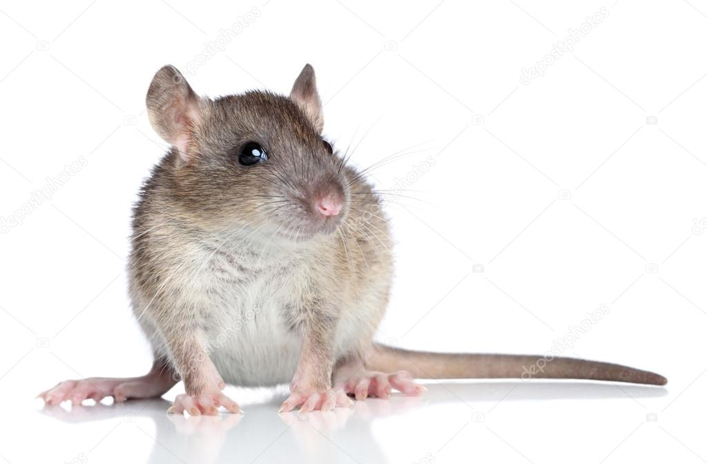 Brown rat sits on a white background — Stock Photo #14144649